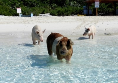 Swimming Pigs and Thunder Ball Grotto!