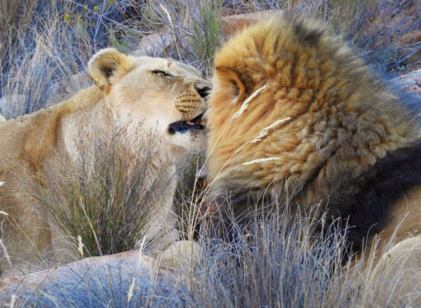 Lions At The Aquilla Game Reserve